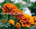 Marigold flower extract(Lutein powder :Tagetes erecta extract )