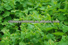 tartary buckwheat tea