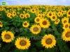 Sunflower Seeds Kernels, Bakery Grade