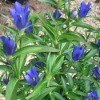 Largeleaf Gentian Extract Powder