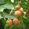 Escin 98%; Aescin 98%; Horse Chestnut Extract; CAS 6805-41-0; EINECS 229-880-6