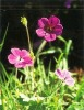Cranesbill Extract Powder