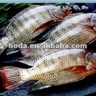 Whole Round Frozen Black Tilapia Fish