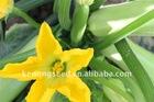 S856 Cucurbita pepo seed