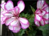 100% Pure Natural Rose Geranium Essential Oil,From Pelargonium graveolens