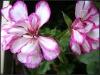 100% Pure Natural Rose Geranium Essential Oil,From Pelargonium graveolens