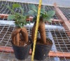 Ginseng ficus (easy indoor potted plants)