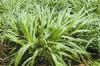 Sell Cow Loved Good Tasted Warm Seasons Hybrid Pennisetum Forage Seed