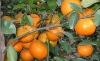 3-5.5cm fresh shatang mandarin orange