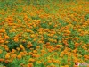 manufacture of Marigold flower P.E. lutein 5% -95%