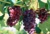 red grape juice concentarte