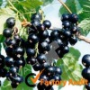 Black Currant extract anthocyan/anthocyanin