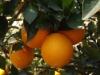 Sweet Juciy Newhall Navel Orange