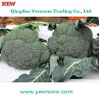 2012 Fujian Good Fresh Broccoli