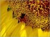 pure natural mature sunflower honey