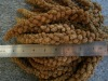 chinese millet sprays