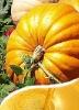 100% pure Pumpkin Seed Oil