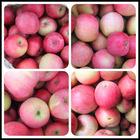 JQ Yantai Fuji Apple Famous Fruit