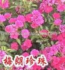 Pearl Meidiland - pink natural mini rose plant