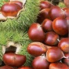 China chestnut