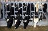 Cattle livestock headlock cattle feeders IN-M213