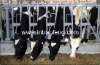 Cattle livestock headlock cattle feeders IN-M213