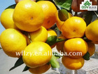 Hot sale Honey Mandarin Orange