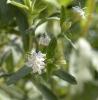 Stevia Leaf p.e. (Organic Stevia leaf)