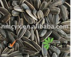 Sunflower seed 3146