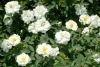 rose flower kent - white groundcover rose