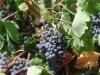 25kg Grape Seed Oil (Vitis vinifera), Grapeseed oil, CAS 8024-22-4