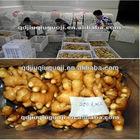 2012 fresh ginger/china ginger