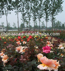 multi-colored roses from professional china rose nursery