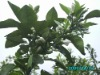 Petitgrain Dai-Dai leaf Oil