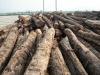 Burma teak logs