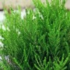 High quality Capillary Wormwood Herb for Curing Hepatitis