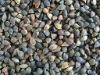 chinese buckwheats