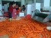 Fresh Carrot of 80g-150g