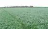 barley grass powder, barley leaf powder