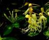 Herbal Medicine Dried Honeysuckle Flower