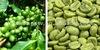 free sample green coffee bean extract powder