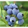 bilberry extract anthocyanins anthocyanosides