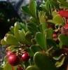 100% natural Uva Ursi Leaf Extract-Arbutin