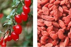 Chinese wolfberry fruit, lycium fruit, goji berries