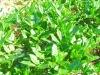 Green Tea extract (EGCG 10%-99%)