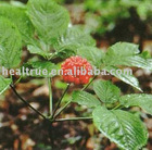 no pesticides residue American Ginseng Extract