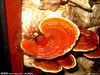 Ganoderma Extract