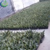 Sansevieria For Wholesale