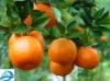 Ponkan Orange