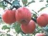 fuji apple south africa